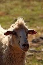 Dalmatinska pramenka sa rock frizurom